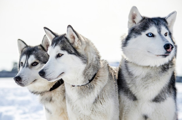 Tre cani siberian husky si guardano intorno. i cani husky hanno il colore del mantello bianco e nero.