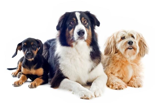 Tre cani su bianco