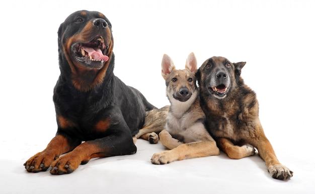 Tre cani