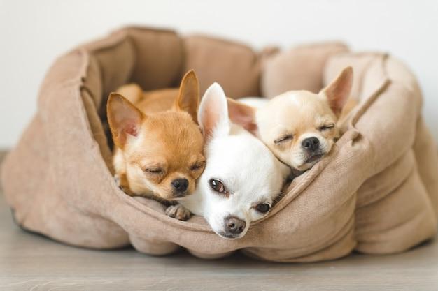 Tre cuccioli adorabili della chihuahua che si trovano nel piccolo canile sul pavimento.