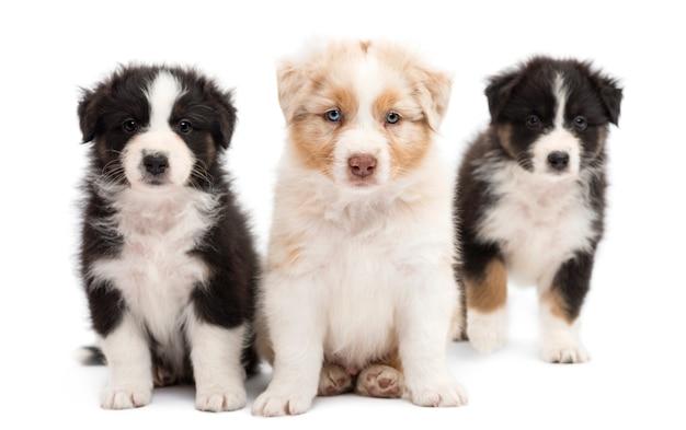 Tre cuccioli di pastore australiano, seduta e ritratto su sfondo bianco