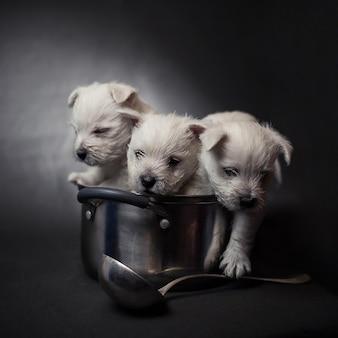 Tre cuccioli di west highland terrier in una pentola con un mestolo