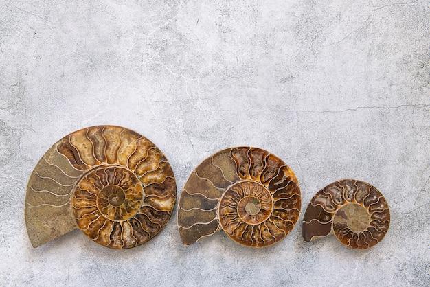 Tre dimensioni ammonite diverse, conchiglia fossilizzata su sfondo grigio.