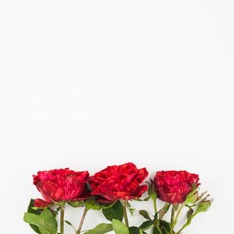 Tre fresche rose rosse sul fondo di sfondo bianco