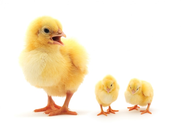 Tre galline