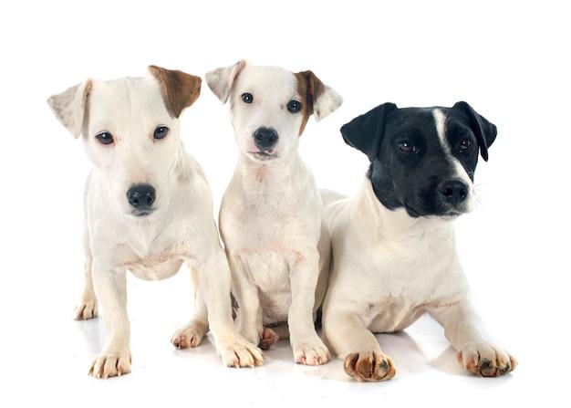 Tre jack russel terrier