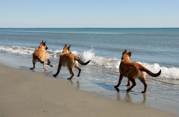 Tre malinois e il mare