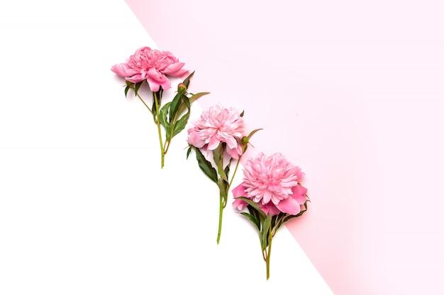 Tre peonie rosa brillante al centro della composizione su bianco e rosa