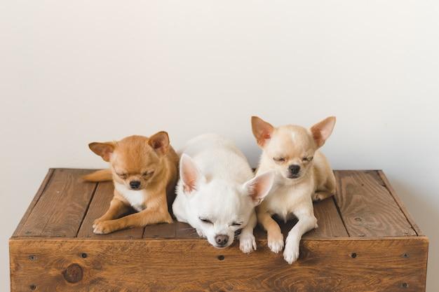 Tre piccoli, adorabili, simpatici amici di cuccioli di cuccioli di chihuahua di razza domestica che si siedono e che si trovano sulla scatola di legno d'epoca animali domestici insieme dormono insieme. patetico ritratto morbido. famiglia di cani felice