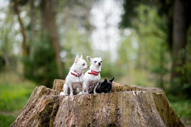 Tre piccoli cuccioli divertenti della chihuahua che si siedono sull'albero nella foresta di estate
