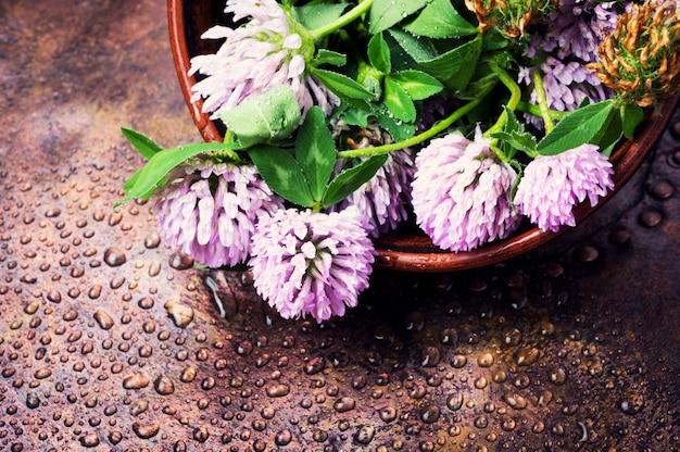 Trifoglio vegetale curativo
