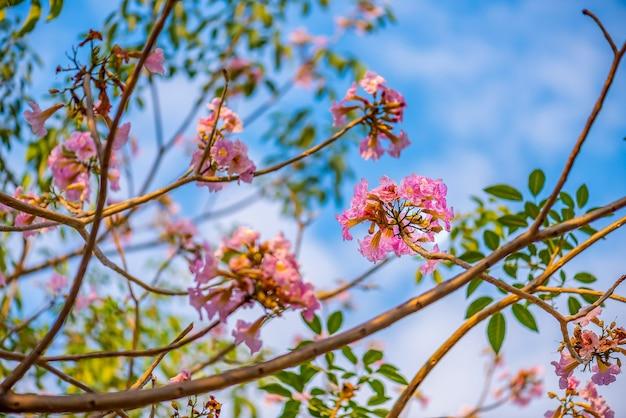 Tromba rosa o fiore di tabebuia rosa