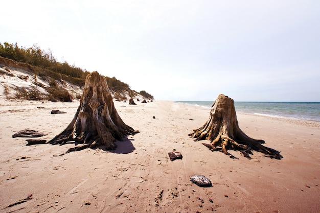 Tronchi d'albero morti nel parco nazionale di slowinski.