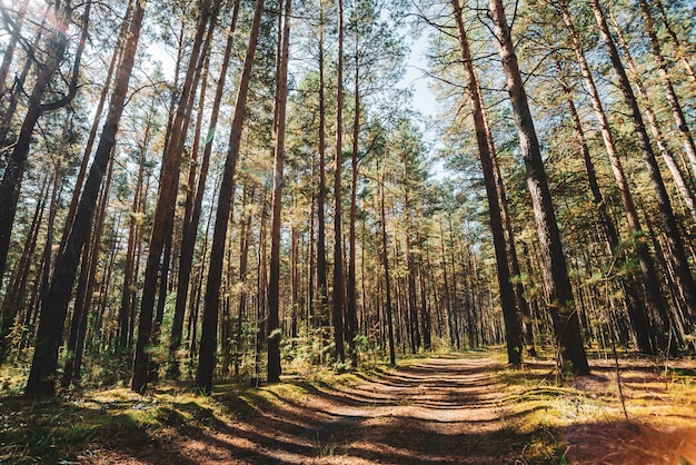 Tronchi dritti di alti pini in giornata di sole.