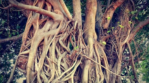 Tronchi e radici enormi del tronco di un albero di banyan