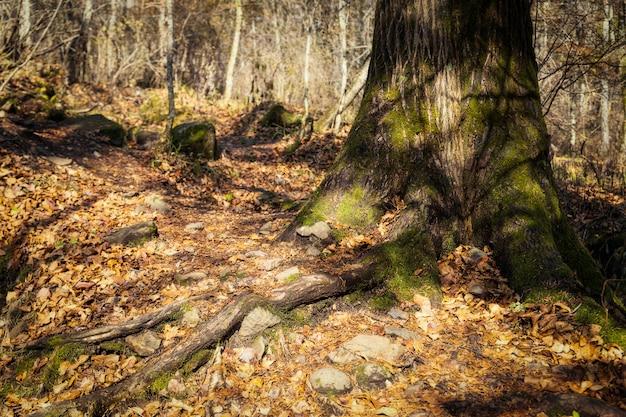 Tronco di albero enorme con le radici nella foresta di autunno in russia