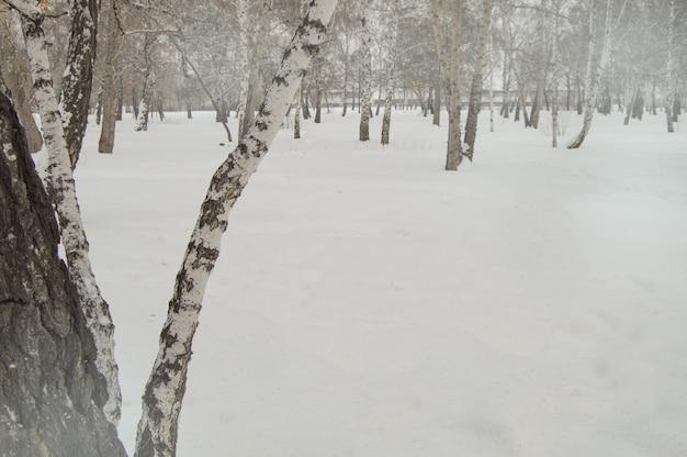 Tronco di betulla piegato sullo sfondo di neve e alberi nel parco invernale