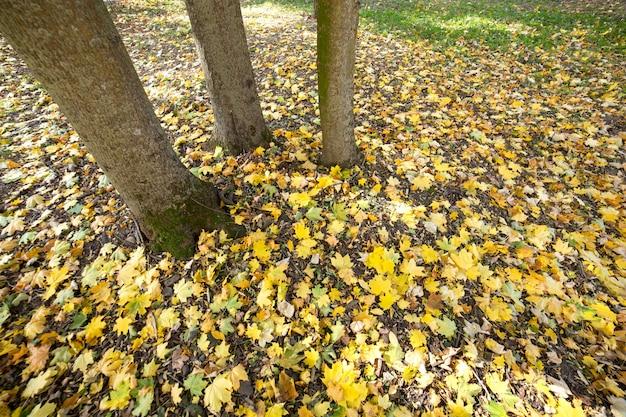 Tronco di legno di grande albero con le foglie gialle cadute nel parco di autunno.
