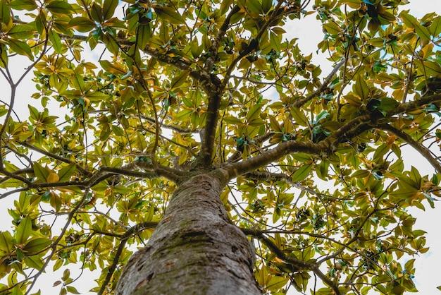 Tronco e rami di un albero magnolia