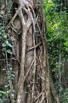 Tronco legato alla radice di grande albero nella foresta pluviale