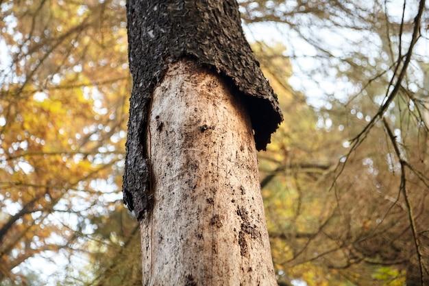 Tronco secco di abete rosso con corteccia esfoliante, abete malato danneggiato dallo scarabeo di corteccia, foresta d'autunno
