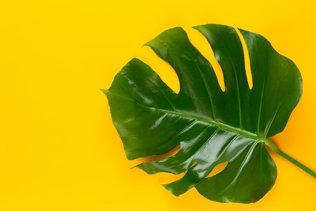Tropical jungle leaf, monstera, appoggiato su una superficie piana, su sfondo giallo.