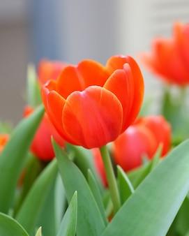 Tulipani arancioni del primo piano in giardino