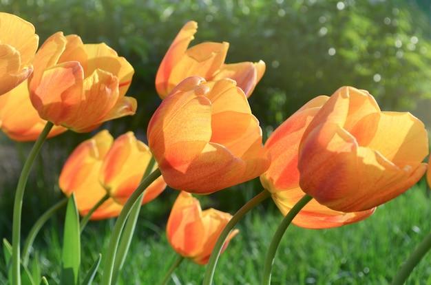 Tulipani arancioni primaverili il cairo