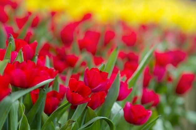 Tulipani colorati freschi nella calda luce del sole