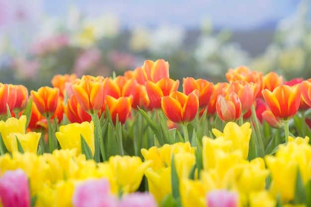 Tulipani freschi al sole