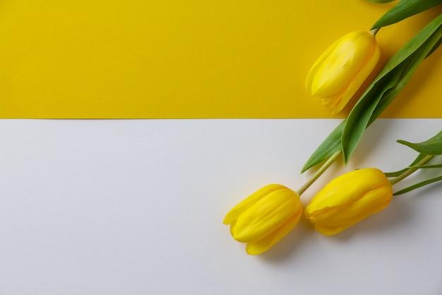 Tulipani gialli della molla su fondo di carta, disposizione piana