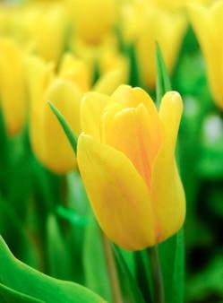 Tulipani gialli nel giardino