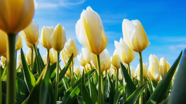 Tulipani gialli su uno sfondo di cielo blu