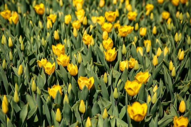 Tulipani in primavera al giardino