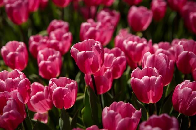 Tulipani in primavera in giardino o nel parco