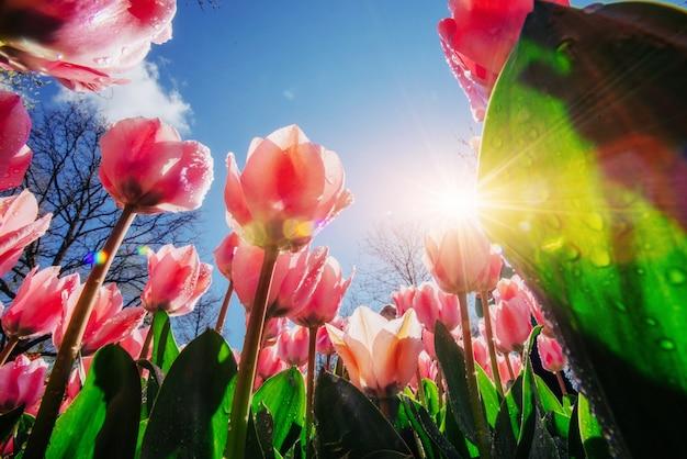 Tulipani rosa alla luce del sole contro il cielo