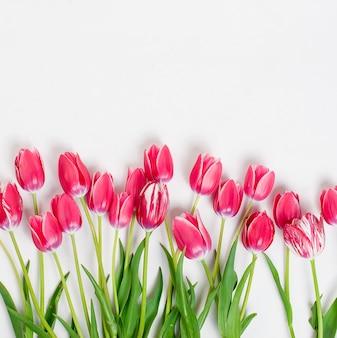 Tulipani rosa in fila su sfondo bianco