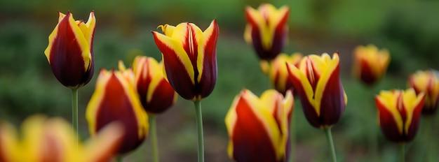 Tulipani rossi e gialli nel giardino di primavera, primo piano, fuoco molle, fondo vago. boccioli di fiori, vista laterale.