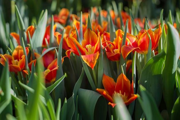 Tulipani rossi in giardino in primavera