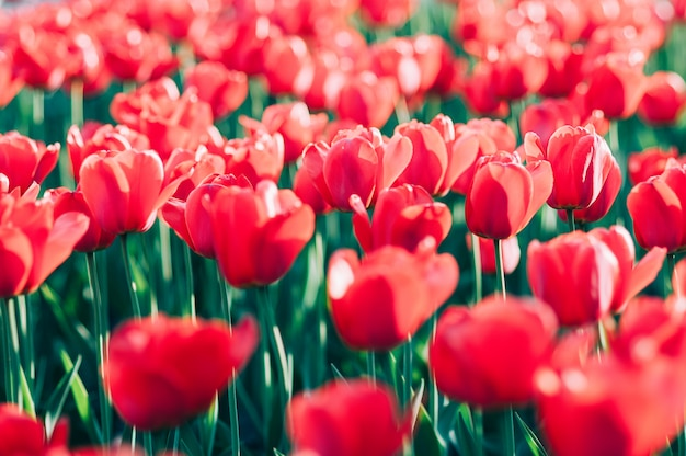 Tulipani rossi in un fuoco molle di arte del giardino