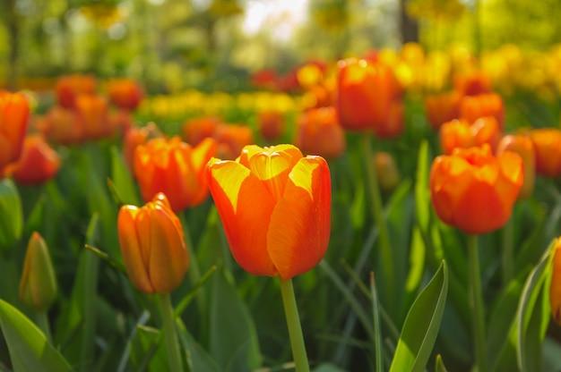 Tulipani rossi nei raggi del tramonto