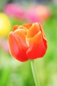 Tulipani rossi sfocati con sfondo sfocato modello.