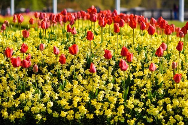 Tulipani rossi vicino a buckingham palace a londra