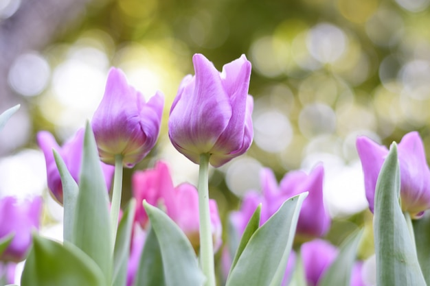 Tulipani viola variopinti e foglie verdi.