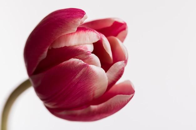 Tulipano aperto rosso isolato su superficie bianca