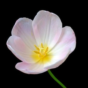 Tulipano bianco isolato su sfondo nero