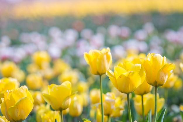 Tulipano in primavera sotto il raggio di sole, bello e colorato tulipano sulla luce del sole.