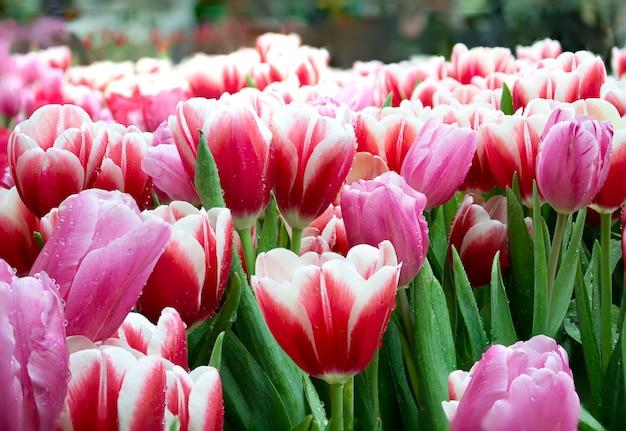 Tulipano rosa campo di tulipani.
