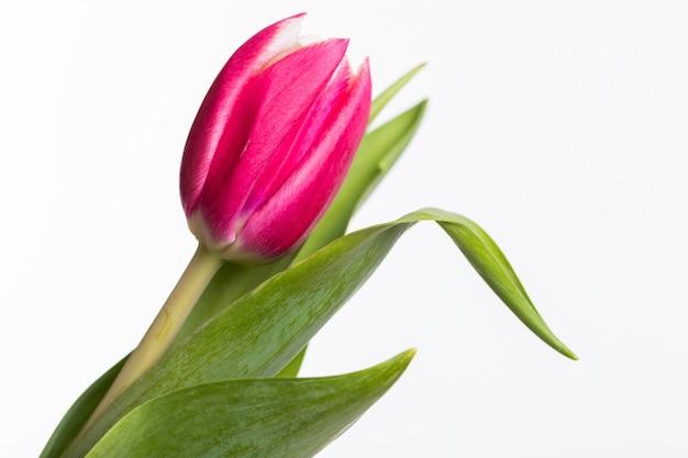 Tulipano rosso con le foglie verdi isolate su bianco