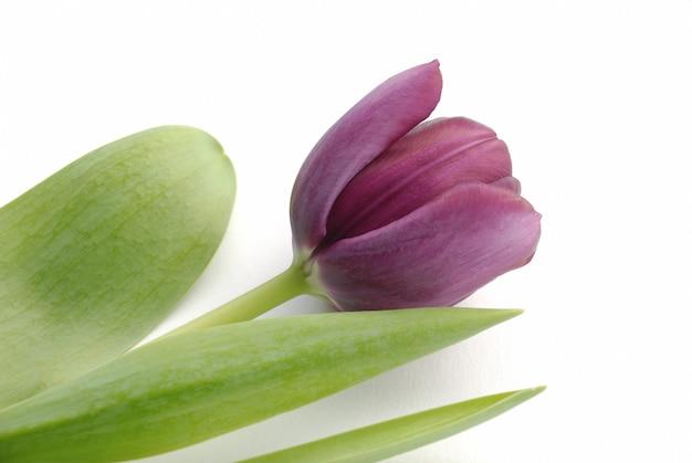 Tulipano su bianco
